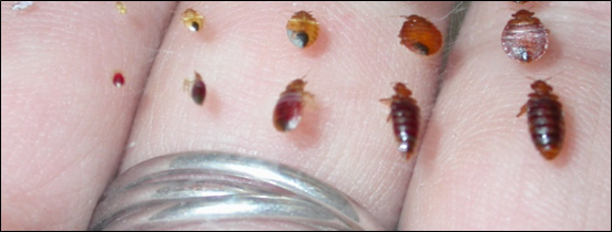 images of the 5 bedbug life cycle stages